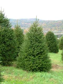 NORWAY SPRUCE Picea abies   30+EXTRA seeds. FAST GROWER
