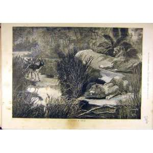 1882 Leopard Ambush Hunting Antelope Buck Wild Animal