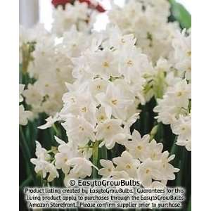 Paperwhites Ziva, 10   10 very large bulbs   17+ cm: Patio