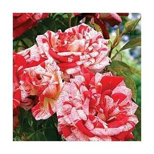 Stars n stripes Rose Seeds Packet Patio, Lawn & Garden