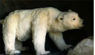 Extra Large OOAK Realistic Polar bear with open/close eyes by pawtrait