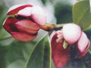 Magnolia Figo Red Nice Plant Alot of Flower