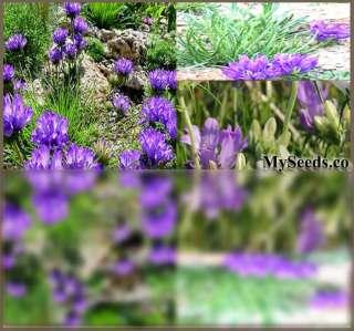 Rock Garden Lawn Border Alpine GRASSY BELLS GRASS SEEDS