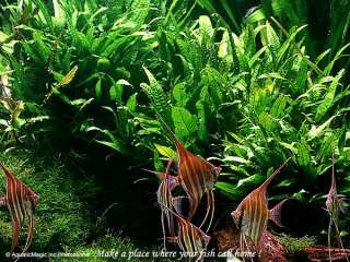 Java Fern   Live Tropical Aquarium Plant Fish Tank BB