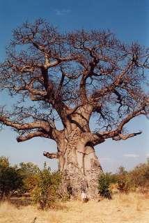 . BAOBAB TREE Adansonia Digitata MONKEY BREAD TREE seeds African Icon