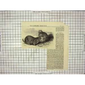 1860 PRAIRIE DOGS ZOOLOGICAL SOCIETY GARDENS REGENTS