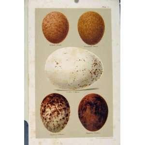 Seebohm Bird Eggs Plate 1 Falcon Vulture C1896 Antique